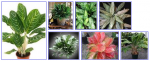 Aglaonema Plant Care