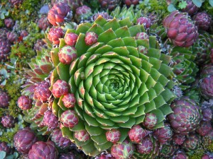 Sempervivum soboliferum