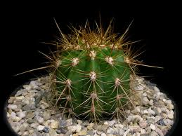 Secrets Of Growing Cacti And Succulents Cactus Plants Types