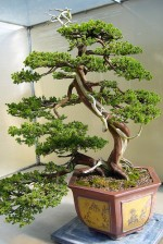 Growing Bonsai Trees