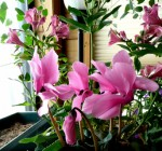 Cyclamen Flower Growing Guide