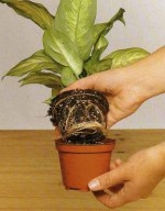 How to Propagate House Plants – Cuttings, Re-potting and Air-layering