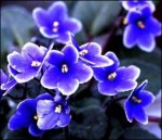 How to Grow African Violets – Saintpaulias