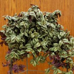 Tradescantia Growing Tips