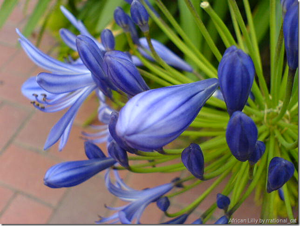 African-Lilly
