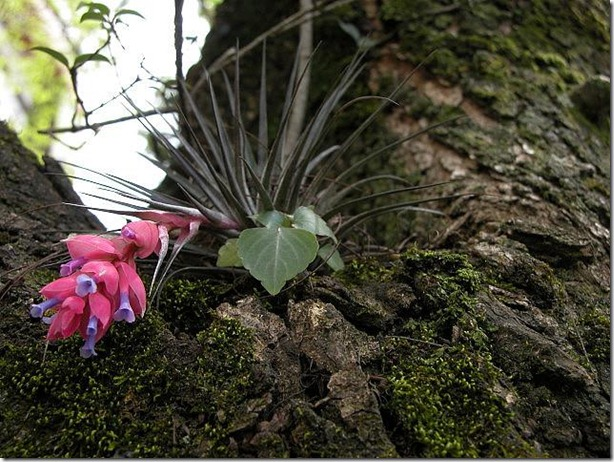 bromeliad-ephiphytes