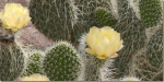 Caring for Cacti