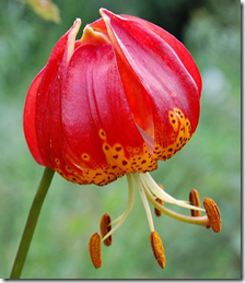 exotic-houseplants-leopard-lilly