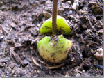 How To Plant a Pip