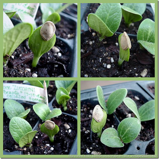 growing-from-seedlings
