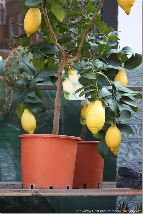 growing-fruit-in-containers---lemons