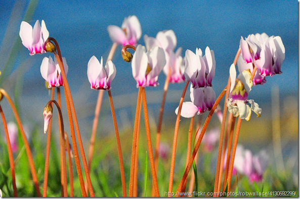 hardy-bulbs-cyclamens