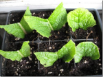 Growing Plants From Leaf Cuttings