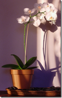 orchid-in-pot