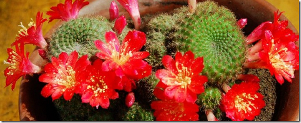 red-crown-cactus