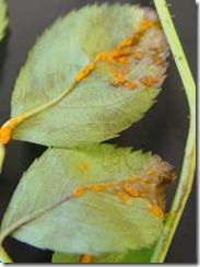 rust-on-leaf