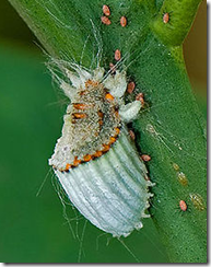 scale-insect-on-leaf