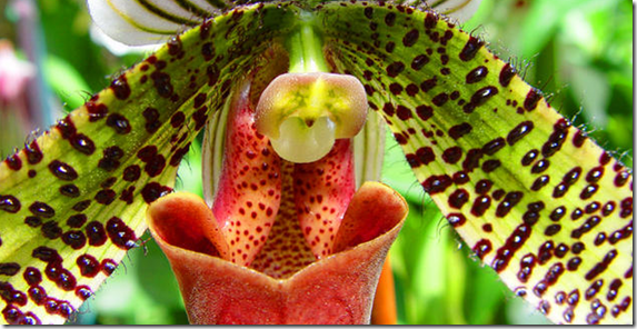 slipper-orchid