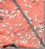 Springtails And How They Damage Plants