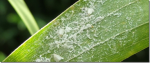 How To Combat Whitefly