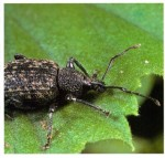 Black Vine Weevil On Indoor Plants