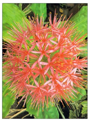 Blood-Lily-Haemanthus_thumb Red Common Houseplants on common succulents, common hedges, common garden, common ash tree, common spices, common shrubs, common mushrooms, common ground covers, common trees names, common tropical flowers, common nuts, common mugwort, common plants, common leaf names,