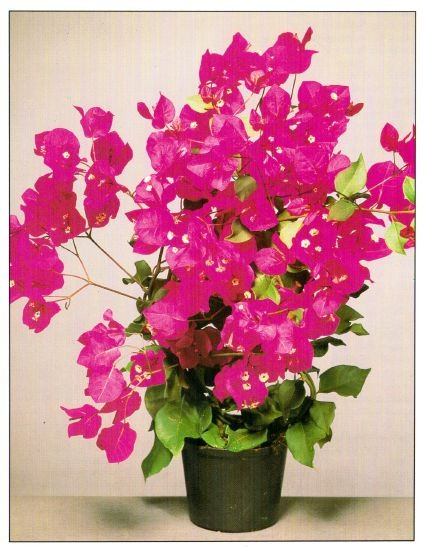Bougainvillea in glowing shades of purple to dark pink salmon orange or white the bracts appear in spring and summer and can last for several weeks mightylinksfo