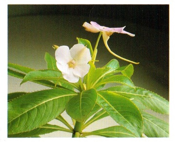 Busy Lizzie - Impatiens walleriana