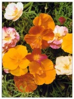 California Poppy – Eschscholzia californica