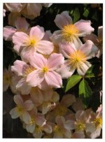 Clematis (Small-flowering) – Clematis hybrids