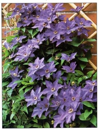 Clematis hybrids