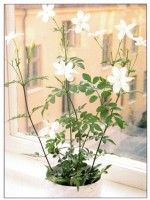 Common White Jasmine – Jasminum officinale