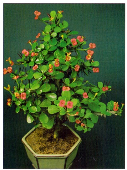Crown of thorns euphorbia milii for Crown of thorns plant