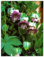 Cup-and-Saucer Vine – Cobaea scandens