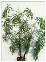 Elegant Philodendron – Philodendron angustisectum