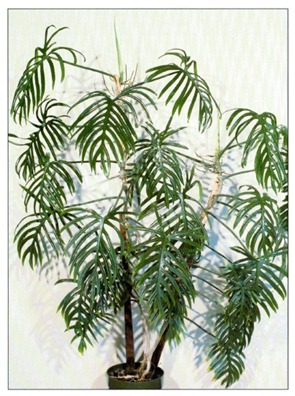 Elegant Philodendron - Philodendron angustisectum