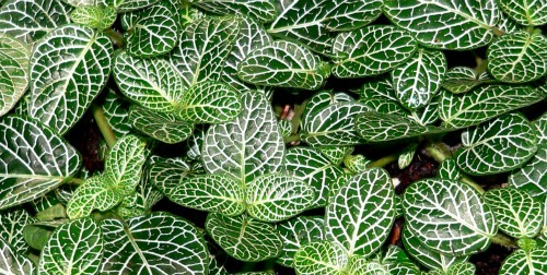 onia-Lace-Leaf-Plant House Plant That Likes Humidity on plants that like standing water, plants that like cold weather, plants that like sunlight, plants that like fire, plants that like moisture, plants that like low temperature, plants that like heat,
