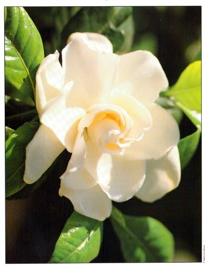 gardena mature singles Gardenia is a genus of flowering plants in the coffee family, rubiaceae, native to the tropical and subtropical regions of africa, asia, madagascar and pacific islands.