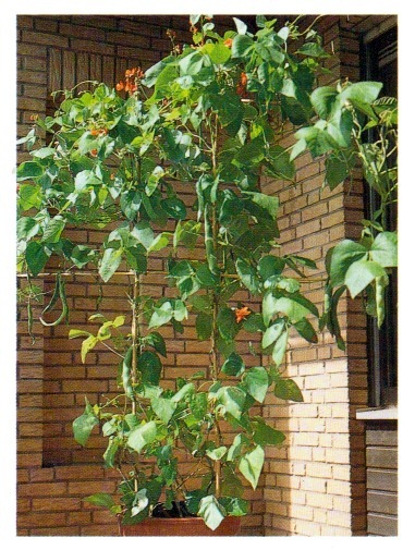 Growing fruit and vegetables for the balcony - Veggies that grow on balcony ...