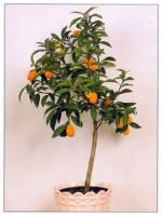 Kumquat – Fortunella margarita