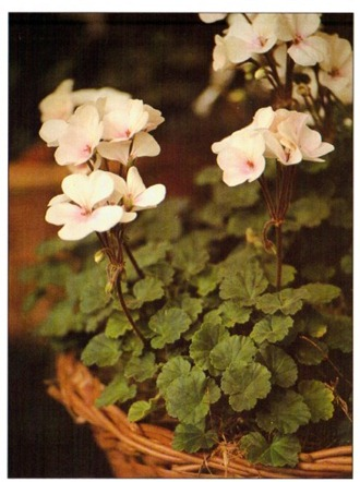 Miniature Geraniums - Pelargonium species
