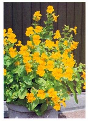 Monkey Flower - Mimulus