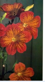 Painted Tongue – Salpiglossis sinuata