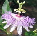Passiflora caerulea – Passion Flower