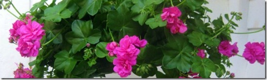 Pelargonium peltatum ivy geranium - How to care for ivy geranium ...