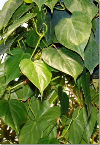 Philodendron scandens - Sweetheart Vine