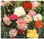 Pinks – Dianthus chinensis hybrids