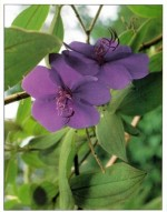 Princess Flower – Tibouchina urvilleana