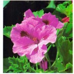 Regal Geranium – Pelargonium domesticum