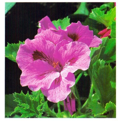 Regal Geranium - Pelargonium domesticum